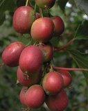 Rode kiwi (Actinidia purpurea)_