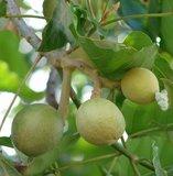 Kemiri (Aleurites moluccana)_
