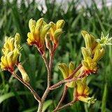 Gele kangoeroepoot (Anigozanthos flavidus 'Yellow')_