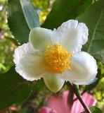 Theeplant (Camellia sinensis)_