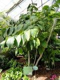 Boom van het leven (Camptotheca acuminata)_