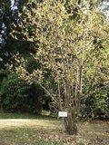 Winterzoet (Chimonanthus praecox)_