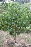 Kaneelboom (Cinnamomum zeylanicum)_
