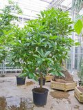 Kanonskogelboom (Couroupita guianensis)_
