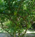 Kalebasboom (Crescentia cujete)_