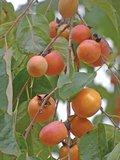 Amerikaanse persimoen (Diospyros virginiana)_