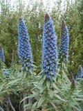 Trots van Madeira (Echium fastuosum)_
