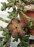 Perzisch-tapijt-bloem (Edithcolea grandis)_