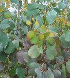 Moeraseucalyptus (Eucalyptus camphora)_