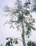 Gele Tasmaanse eucalyptus (Eucalyptus johnstonii)_