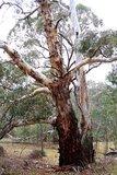 Kaarsschors-eucalyptus (Eucalyptus rubida)_