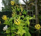 Gele gloriosa (Gloriosa lutea)_