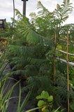 Blauwe jacaranda (Jacaranda mimosifolia)_