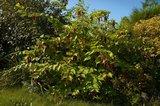 Fazantenbes (Leycesteria formosa)_