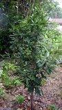 Macadamia (Macadamia integrifolia)_