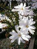 Stermagnolia (Magnolia stellata)_
