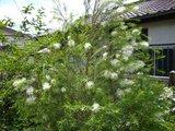Theeboom (Melaleuca alternifolia)_
