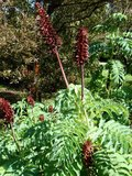 Grote honingbloem (Melianthus major)_