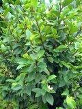 Bananenstruik (Magnolia figo)_