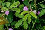 Kruidje-roer-mij-niet (Mimosa pudica)_