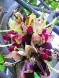 Saba Ling (Mucuna macrocarpa)_