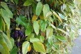 Fluweelboon (Mucuna sempervirens)_