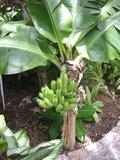 Plantagebanaan (Musa x paradisiaca)_