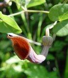 Portugese pijpbloem (Aristolochia baetica)_