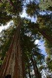 Kustmammoetboom (Sequoia sempervirens)_