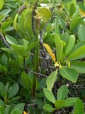 Rode mangrove (Rhizophora mangle)_