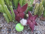 Grote aasbloem (Stapelia grandiflora)_