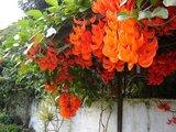 Rouge de Réunion (Strongylodon siderospermum)_