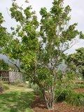 Zeepbes (Sapindus saponaria)_