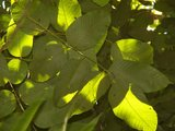 Peronia (Ormosia krugii)_