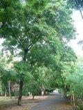 Kralenboom (Adenanthera pavonina)_