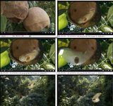 Javaanse komkommer (Alsomitra macrocarpa)_