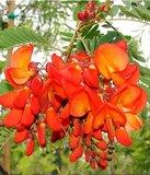 Rode sesbania (Sesbania tripetii)_