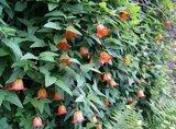 Canarisch klokje (Canarina canariensis)_
