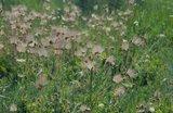 Prairierook (Geum triflorum)_