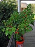 Bhut Jolokia peper (Capsicum chinense 'Bhut Jolokia')_