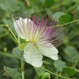 Kappertjesplant (Capparis spinosa)_