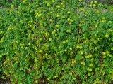 Ballonplant (Cardiospermum halicacabum)_