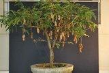 Tamarinde (Tamarindus indica)_