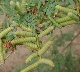 Schroefboon mesquite (Prosopis pubescens)_