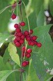 5-smaken-bes (Schisandra chinensis)_