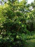 Zuurzak (Annona muricata)_