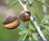 Amandelboom (Prunus dulcis var. dulcis)_