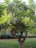 Johannesbroodboom (Ceratonia siliqua)_