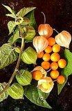 Incabes (Physalis peruviana)_