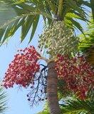 Manilla-palm (Veitchia merrillii)_
